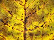 Leaves 013