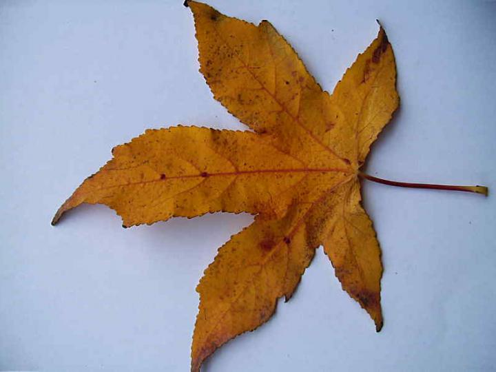 Leaves 014